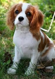 cavaliers dogs. Simple Cavaliers Cavalier King Charles Spaniel Dog Breed On Cavaliers Dogs L