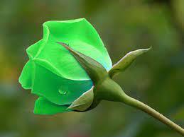 Beautiful Green Rose Wallpaper Image ...