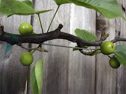 Fruit Trees That Grow In Nc