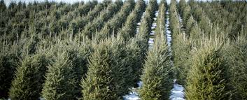 We are the largest Christmas tree producer in the US
