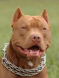 pitbull terrier fight. Delighful Pitbull Pitbull Inside Terrier Fight E