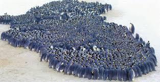 emperor penguin huddle. Wonderful Huddle Penguin Huddle Inside Emperor