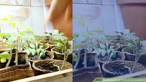 indoor tomato garden. Image Titled Grow Tomatoes Indoors Step 7 Indoor Tomato Garden