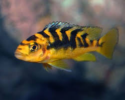 Small Picture 76 best ciclids images on Pinterest African cichlids Tropical