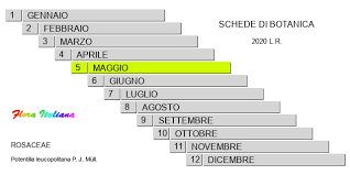 Potentilla leucopolitana [Potentilla di Leuca] - Flora Italiana
