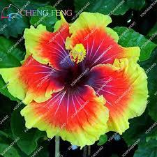 hibiscus flowers 100pcs bag hibiscus flower bonsai giant hibiscus bonsai bonsai tree