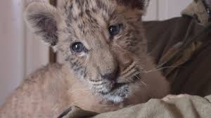 cute baby liger. Contemporary Liger Unbelievably Cute Rare Liger Cub Born In Russia Inside Cute Baby Liger L