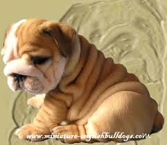 mini bulldog puppies