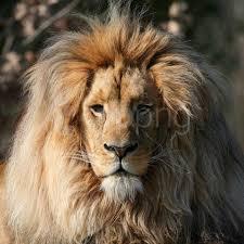 beautiful lion wallpaper background