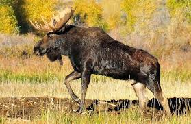 Moose Growth Chart 11 Facts About Antlers Updates From The U S Fish And