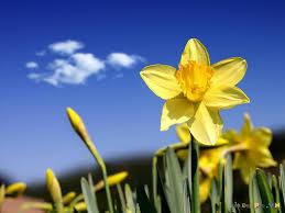 Kết quả hình ảnh cho hoa thủy tiên