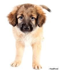 german shepherd golden retriever husky mix. Simple Golden Taking Care Of A German Shepherd Golden Retriever Mix   Mixed Breed Dog Guide In German Shepherd Golden Retriever Husky Mix E