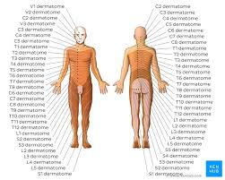 Spinal Dermatomes Chart Dermatomes Anatomy And Dermatome Map Kenhub