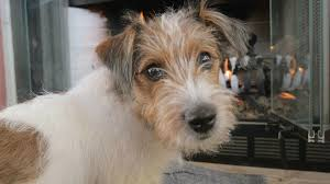 wire haired jack russell terrier. Wire Haired Jack Russell Terrier Puppy Turns And Looks In The Camera Adorable Scruffy Young Dog Lays On Blanket Front Of Fireplace For