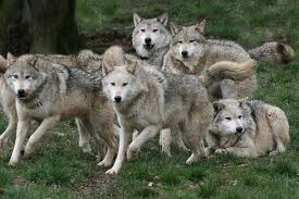 gray wolf pack playing. Wonderful Playing Their All Like CHARGE Excepting The One On RightThat Ones Me Intended Gray Wolf Pack Playing