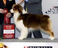 AUSTRALIAN SHEPHERD - Rosemere <b>Fat Cat</b> At Bayshore ID: 6939