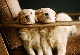 golden retriever puppies sleeping.  Puppies KimballStock_PUP 08 GR0028 01_preview Throughout Golden Retriever Puppies Sleeping D