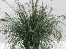 Lampepoetsersgras Pennisetum Alopecuroides Hameln Directplant