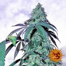 Blue Gelato 41 Cannabis Seeds Barneys Farm