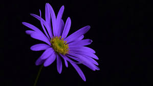 Purple Flowers Backgrounds Purple Flower Blossom Hd Flowers 4k Wallpapers Images