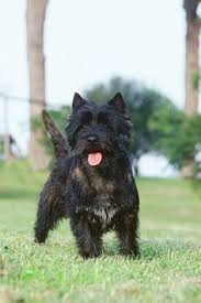 black cairn terrier mix. Interesting Cairn Silver Tip Brindle CairnTerrier And Black Cairn Terrier Mix