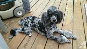 akc rare merle standard moyen poodle puppies due