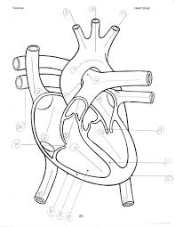 Blank heart anatomy diagram world of diagrams within 2018 on simple unlabeled