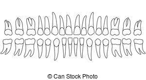 Orthodontic Tooth Chart Vector Dental Illustration Tooth Chart Human Teeth