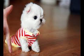 Teacup Maltese Growth Chart Teacup Maltese Quick Facts About The Adorable Designer Dog