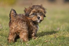 most por dog breeds america s favorite canine breeds