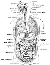 Human Digestive Enzymes Chart Human Digestive System Wikipedia