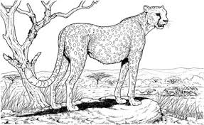 Cheetah In The Nature Coloring Page Free Printable Coloring Pages