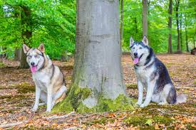 Otherwise, it may get lost or get into a fight at night. Can Huskies Live Outside Embora Pets