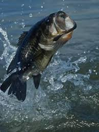 largemouth bass jumping. Modren Largemouth Largemouth Bass Jumping Diving For Lure Inside Jumping A