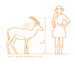 Gazelle Dimensions Drawings Dimensions Guide
