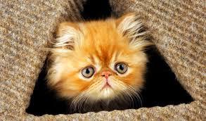 orange persian cat. Exellent Orange For Orange Persian Cat E