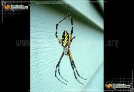 full sized image 6 of the black and yellow garden spider