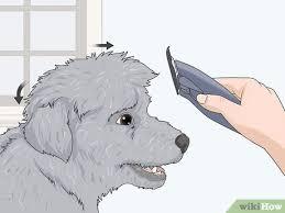 3 ways to groom a maltipoo wikihow