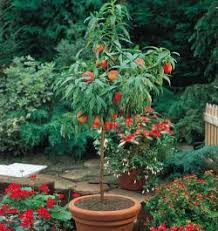 Triple Grafted Apple Tree U2022 GrabOne NZTriple Grafted Fruit Trees
