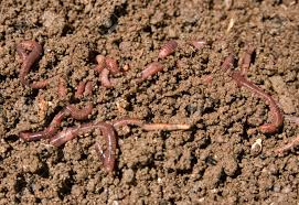 composting or garden worms in the dirt stock photo 4906448