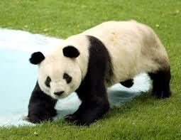 Resultado de imagen de oso panda