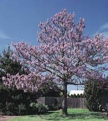 average american flower size ornamental trees