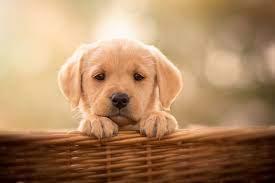 Baby, Animal, Dog, Labrador, Retriever ...