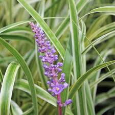 liriope muscari variegated thumbnail