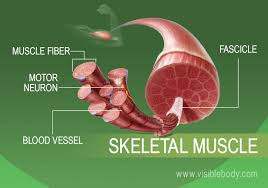 Muscle Tissue Types Learn Muscular Anatomy