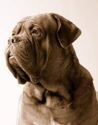 Cato   French mastiff dog, Mastiff dogs ...