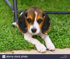 cute beagle puppies. Brilliant Puppies Cute Beagle Puppy In The Grass On Puppies U