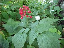 Image result for baneberry