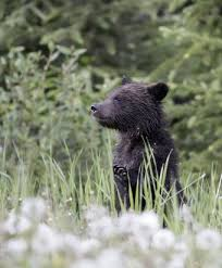 essay commercialization in wildlife management and its kerri martin photography grizzly bear cub