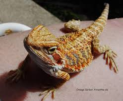 bearded dragon faq how to keep your pet lizard healthy